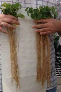 Soybean Root Comparison, treated roots on right have larger root system