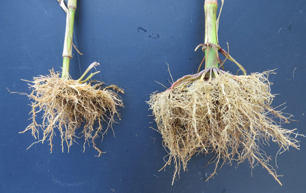 Corn Root Comparison, treated roots on right have larger root system