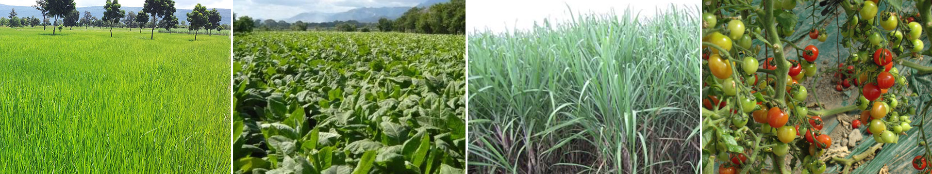Treat your crops header, rice, alfalfa, sugar cane, and tomato fields