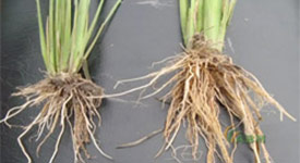 rice Root Comparison, treated roots on right have larger root system